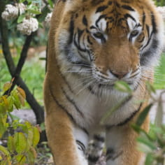 Tigre de siberie - Zoo d'Amnéville