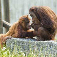 Orang outan - Zoo d'Amnéville