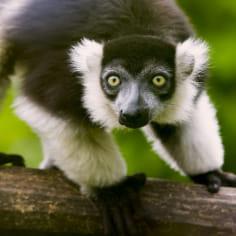 Vari - Zoo d'Amnéville